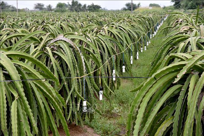 Bình Thuận: Người trồng thanh long sử dụng đèn compact tiết kiệm