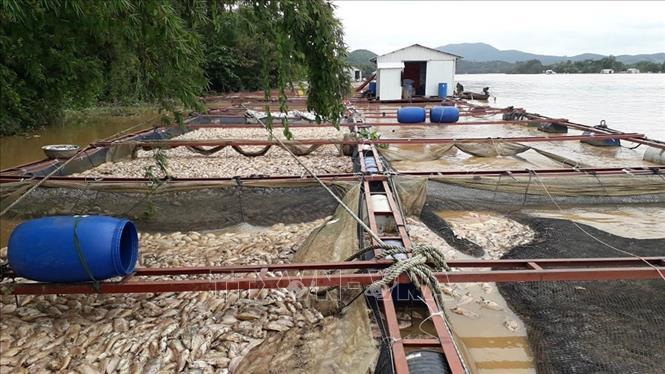 Đồng Nai thiệt hại trên 5.000 tấn cá do mưa kết hợp thủy điện xả lũ - Ảnh thời sự trong nước - Nội chính & Ngoại giao - Thông tấn xã Việt Nam (TTXVN)