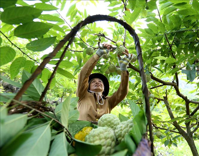 Photo: A Nung ethnic farmer is harvesting custard apples in her garden in Lung Than hamlet, Dong Mo commune. VNA Photo: Vũ Sinh