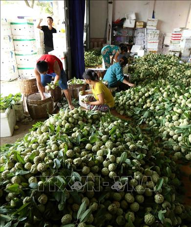 Photo: Custard apples are classified and packaged for export to China at an export business in Dong Banh town, Chi Lang district. VNA Photo: Vũ Sinh