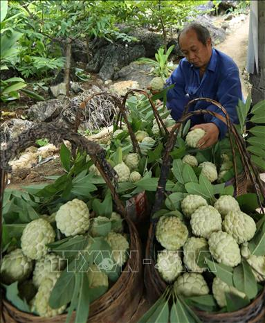 Photo: Classifying custard apples at a garden in Lung Than hamlet, Dong Mo commune. VNA Photo: Vũ Sinh