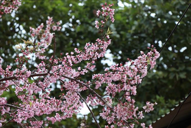 Photo: To Day flower often blooms one month before traditional peach blossoms. VNA Photo.
