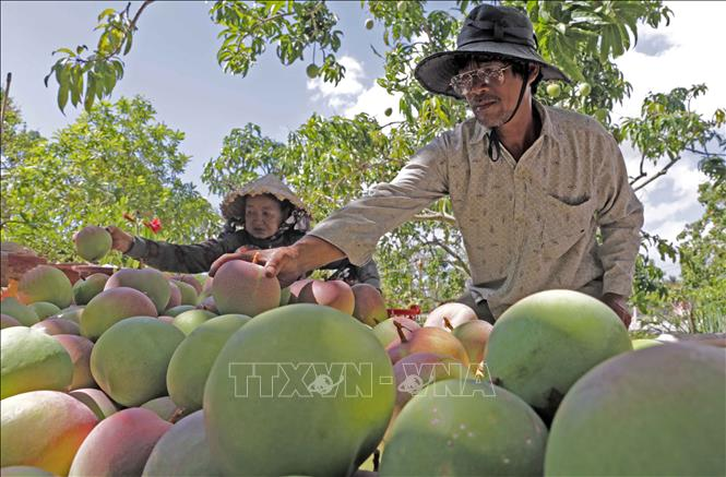 Photo: Harvesting mangoes in Cam Lam district, the central province of Khanh Hoa. VNA Photo: Trần Việt