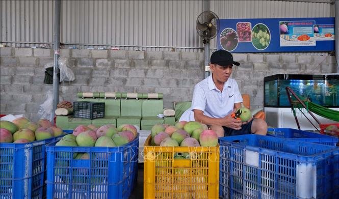 Photo: Classifying mangoes for exports in Cam Lam district, the central Khanh Hoa province. VNA Photo: Nguyễn Dũng