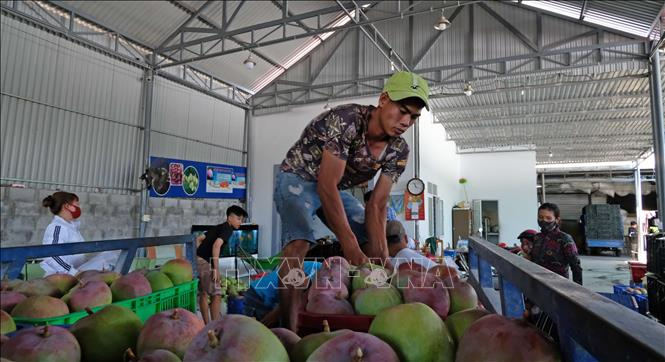 Photo: Collecting mangoes for exports in Cam Lam district, the central Khanh Hoa province. VNA Photo: Nguyễn Dũng