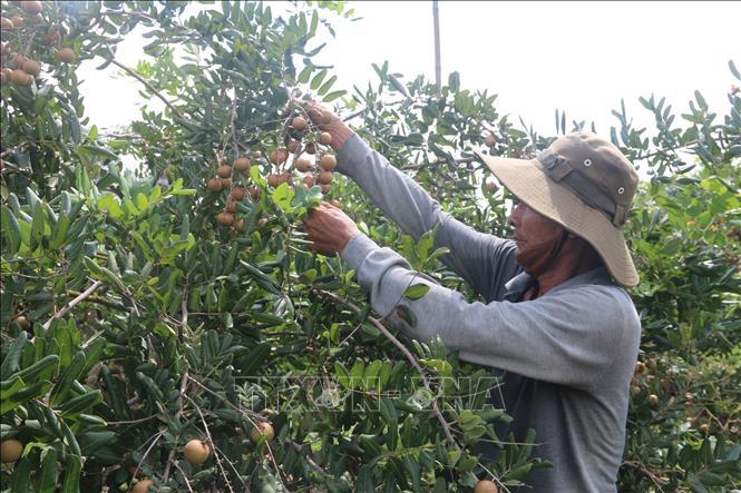 Bà Rịa-Vũng Tàu: Nhãn xuồng cơm vàng vụ sớm rớt giá - Ảnh thời sự trong nước - Kinh tế - Thông tấn xã Việt Nam (TTXVN)