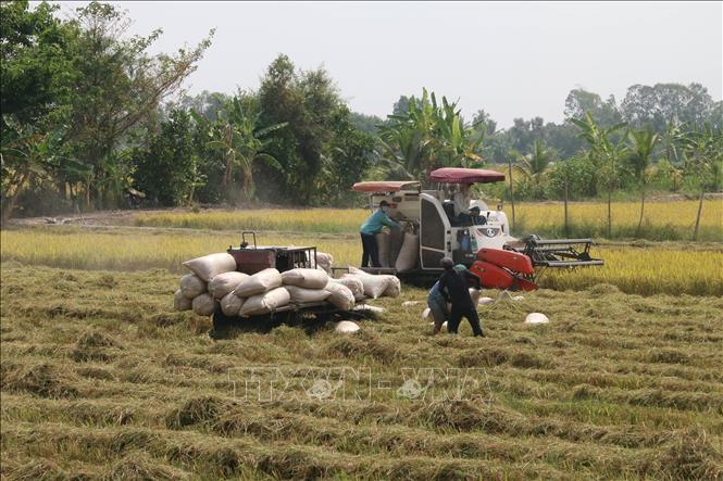 Photo: Harvesting the winter-spring rice crop in Go Cong Dong district. VNA Photo: Minh Trí